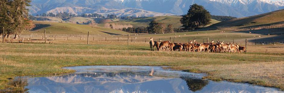 Biche Nouvelle-Zélande - Biche Nouvelle-Zélande