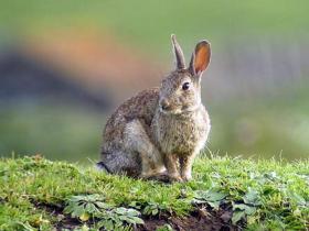 Wild konijn