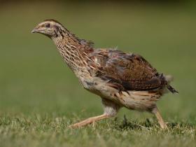 Kwartel - Deze kleine trekvogel, familie van de fazant, wordt gekweekt in Frankrijk en is het hele jaar verkrijgbaar. Geroemd om zijn lichte wildsmaak, op zijn geheel gebraden of ontbeend.