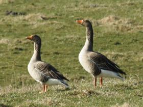 Oie - Ce grand oiseau d'eau plus connue pour son foie gras est aussi disponible sur commande.