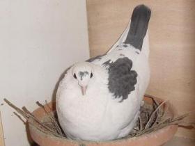 """Duif - Het ras """"King"""" dat gebruikt wordt voor het kweken van onze duiven, garandeert mooie, grote en goedgevleesde duiven."""
